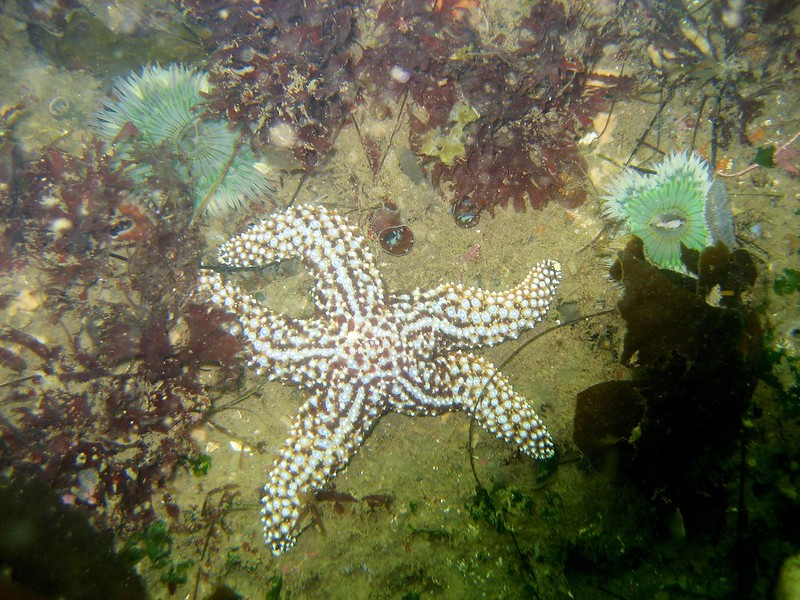 Aug 9th Pics. Diving Kelp Beds Santa Barbara Ca 1 (25)