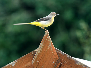 Grey Wagtail | by andy.peter
