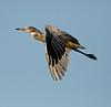 Whistling Heron (Syrigma sibilatrix) by GH Rancher