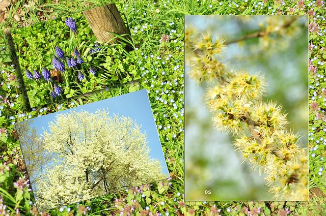April 2019 ... Sträucher- und Bäume-Lehrpfad Plankstadt --- Fotos und Collage: Brigitte Stolle
