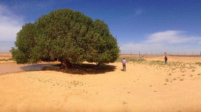 5081 What is the story of 1400-year-old Sahabi tree 01