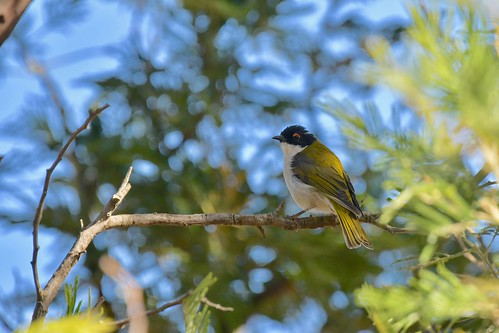White-naped Honeyeater | by friendsintheair