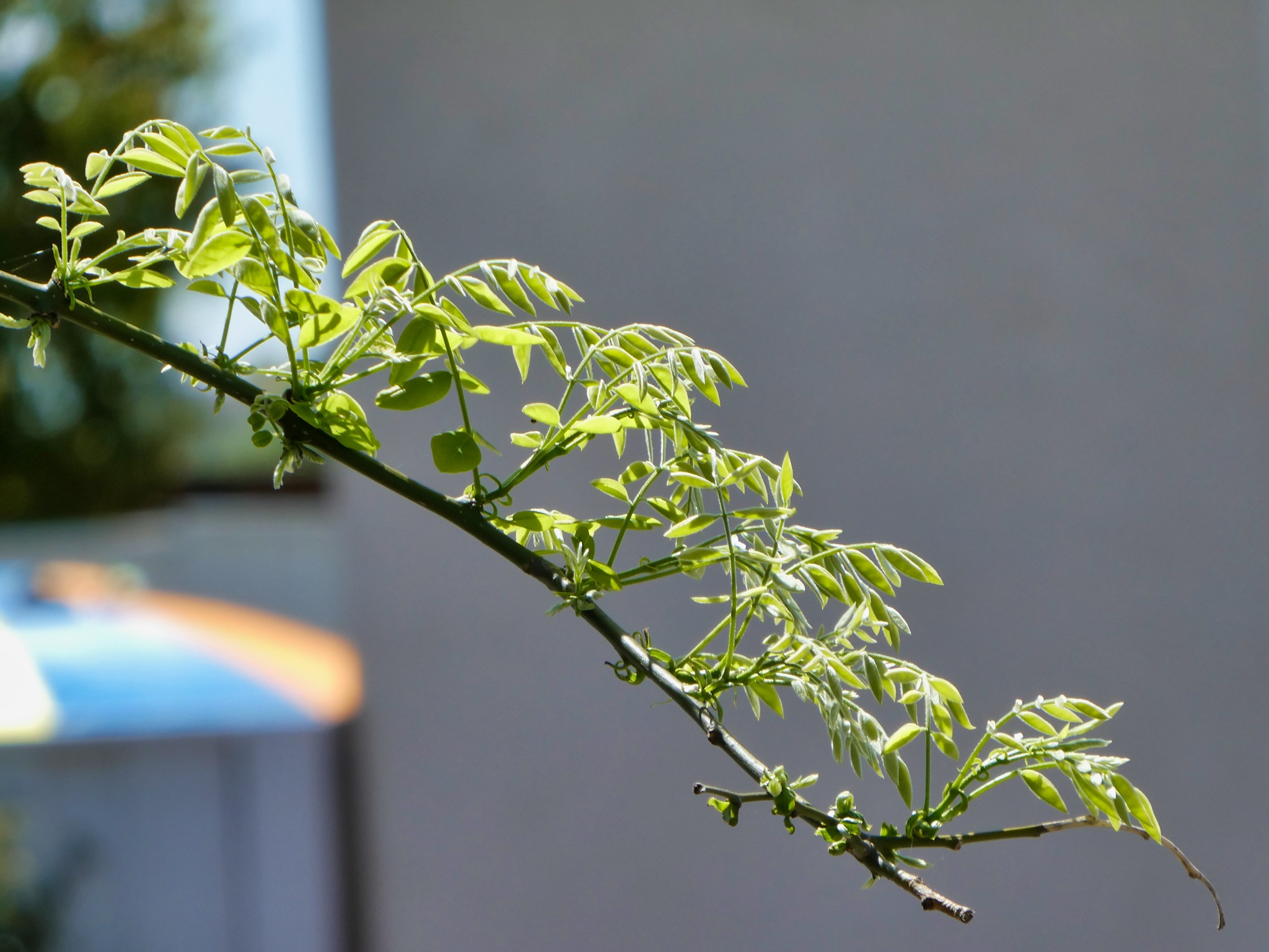 2019-04-14 - Outdoor Photography - Nature - New Leaves