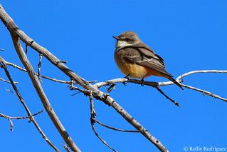 Female Vermilion Flycatcher, Tucson, Arizona