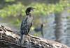 Little Cormorant (Phalacrocorax niger) (Microcarbo niger) by Francisco Piedrahita