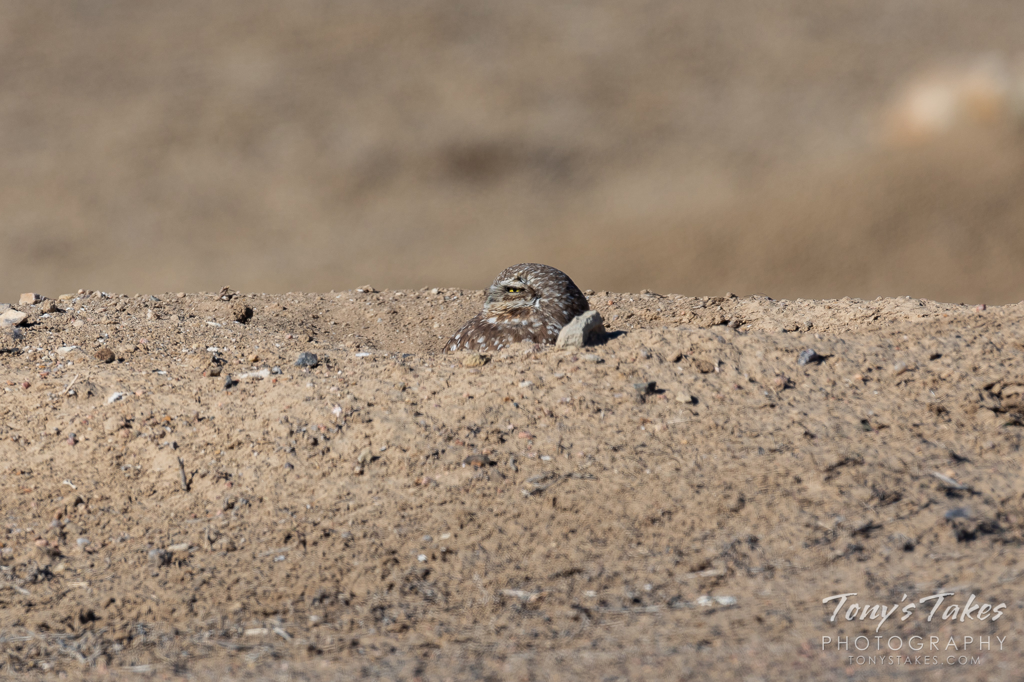 A burrowing owl hunkers down in its burrow. (© Tony's Takes)