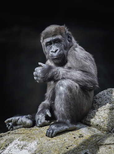 Gorila | by Enrique Murguia