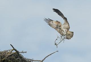 D92817 Osprey | by Nick Sidle