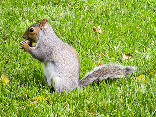 The squirrel has found a tasty morsel for lunch!