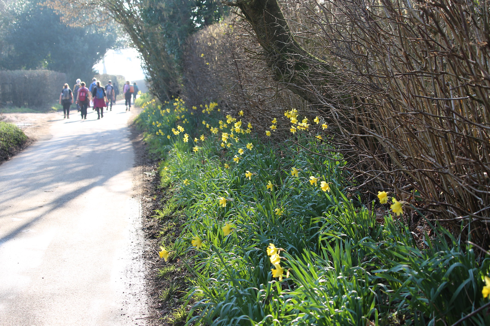 Walking past the daffs - Fawley