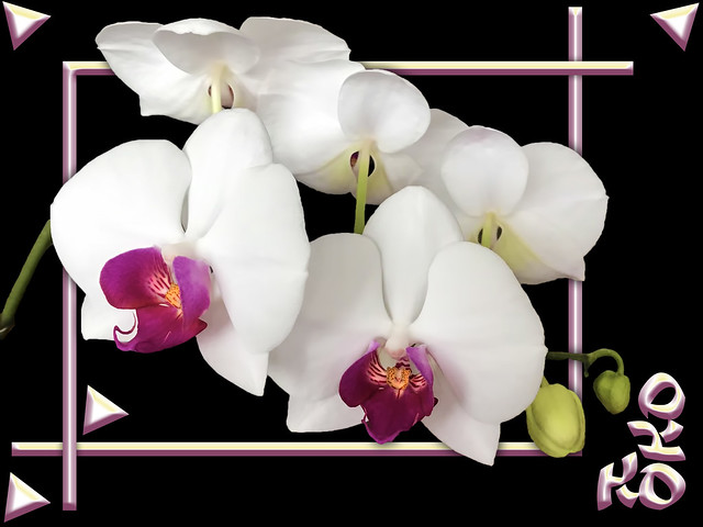5 orchids 2 buds