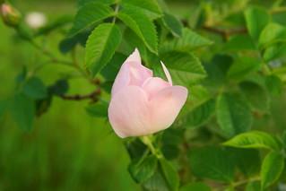 Бутон шиповника / Bud of wild rose | by Владимир-61