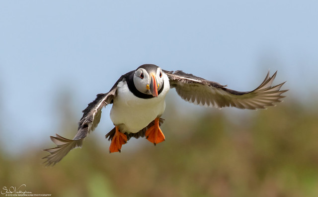Returning Puffin