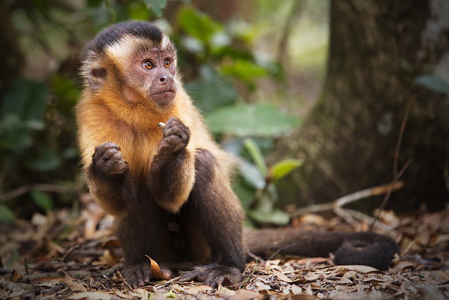 Brown capuchin monkey (Cebus or Sapajus apella)