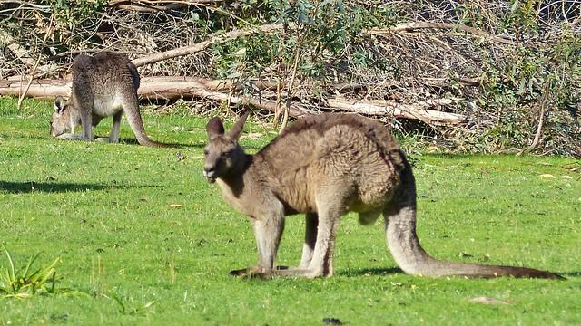 Kängurus im Grampians Nationalpark