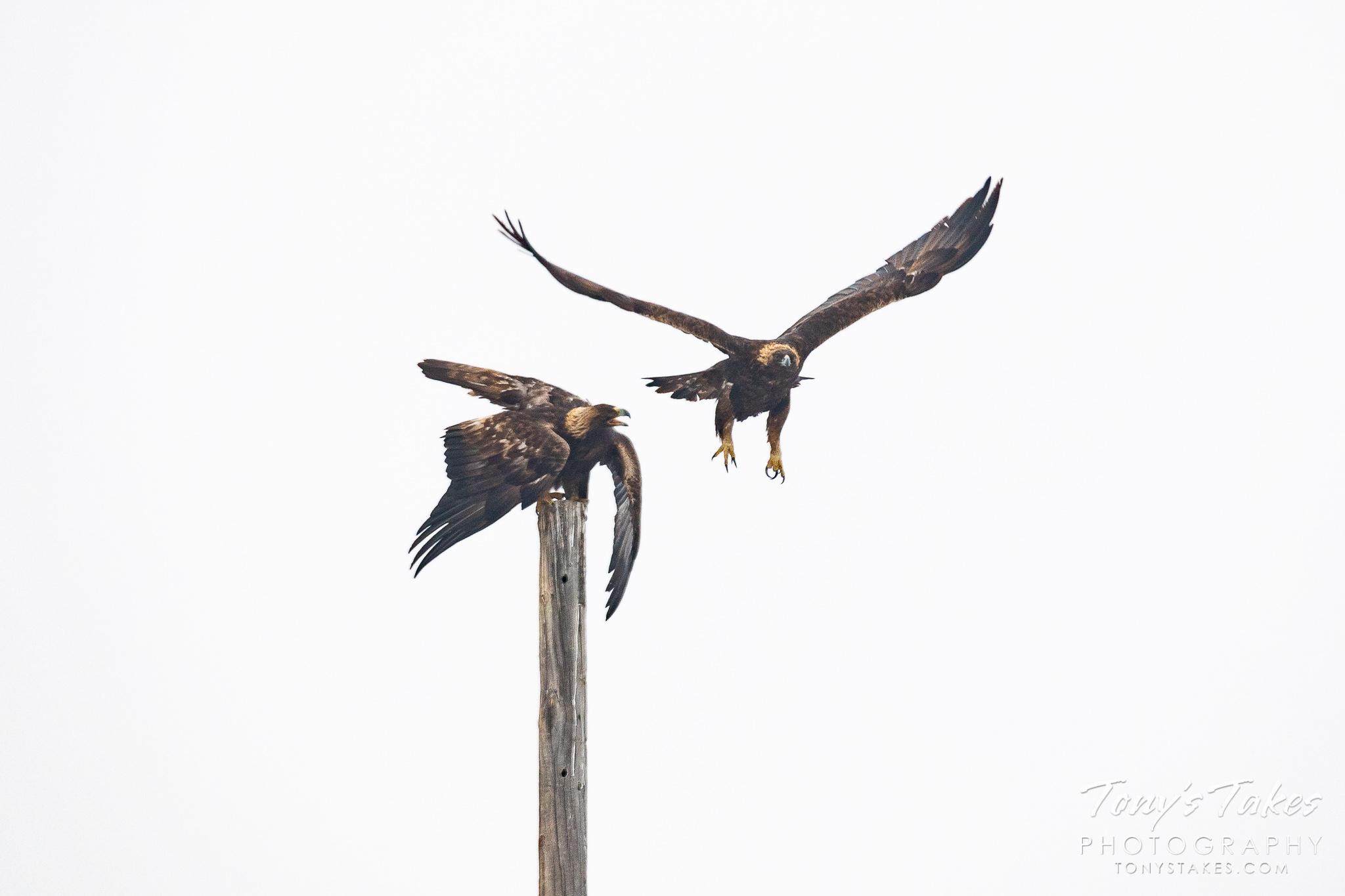 Mating golden eagles in the foothills of Colorado. (© Tony's Takes)
