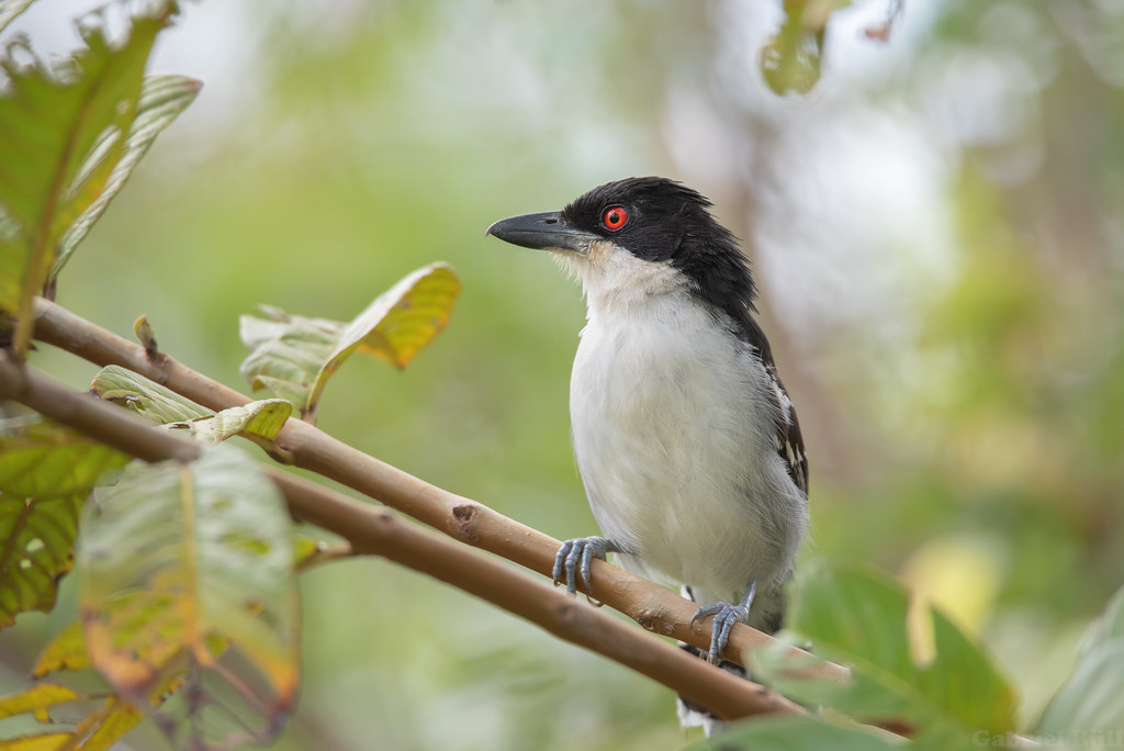 Great Antshrike - choró-boi (Taraba major)