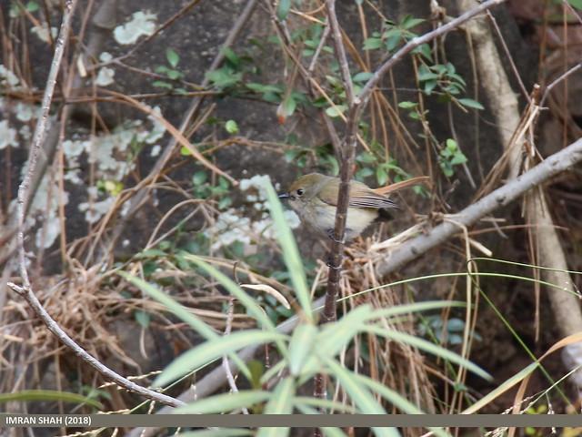 Slaty-blue Flycatcher (Ficedula tricolor)