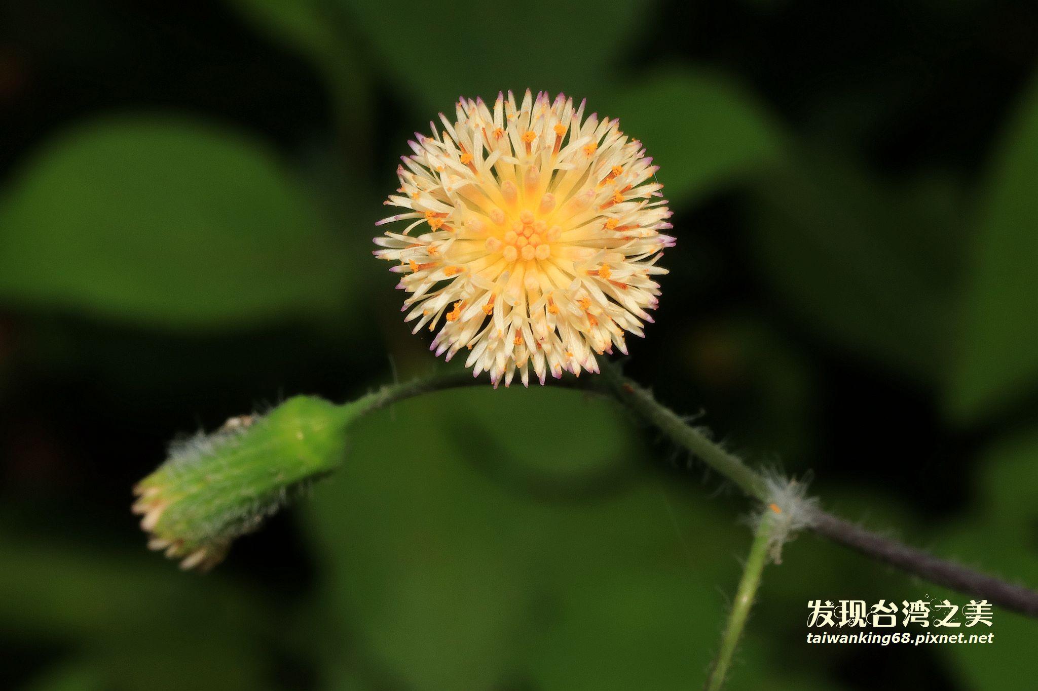 粉黃纓絨花