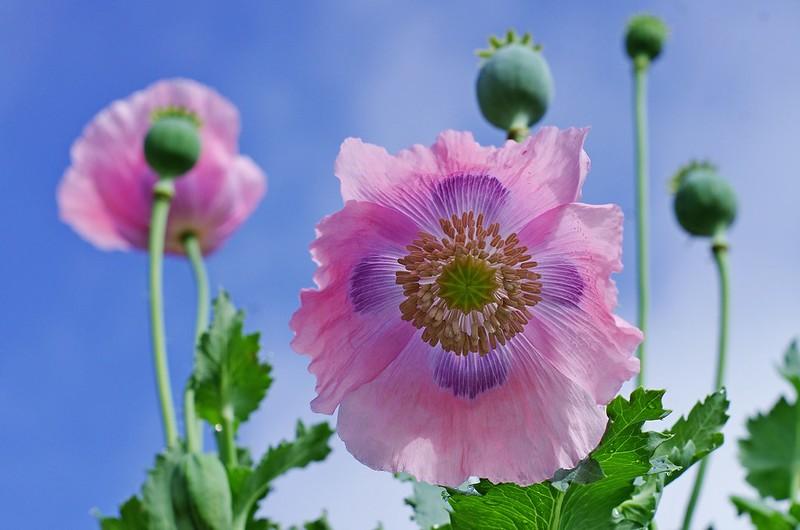 Обои небо, розовый, мак картинки на рабочий стол, раздел цветы - скачать