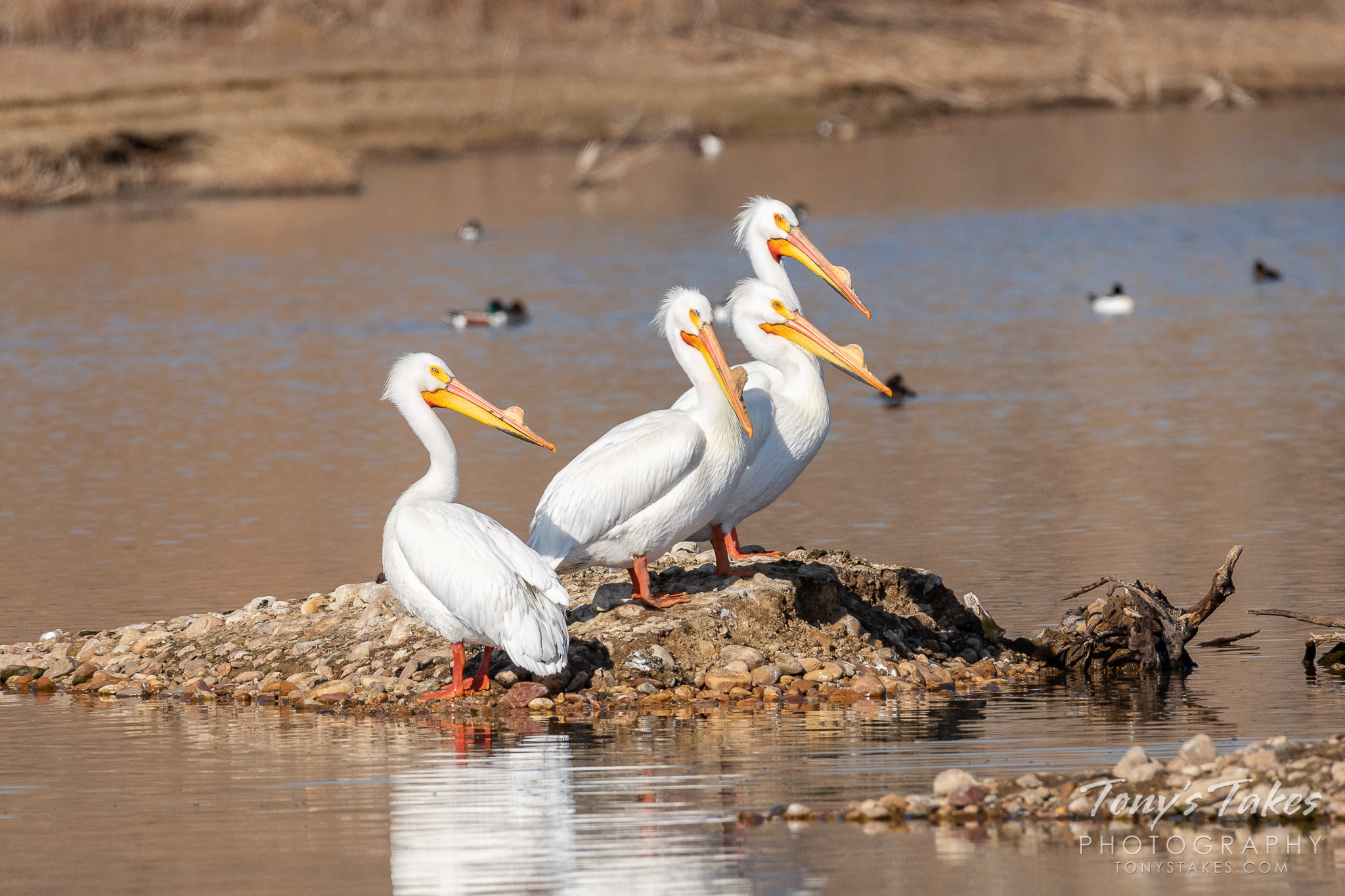 Quartet of American white pelicans staking out the high ground