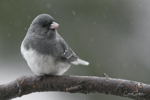 Dark-eyed Junco (White Wing)