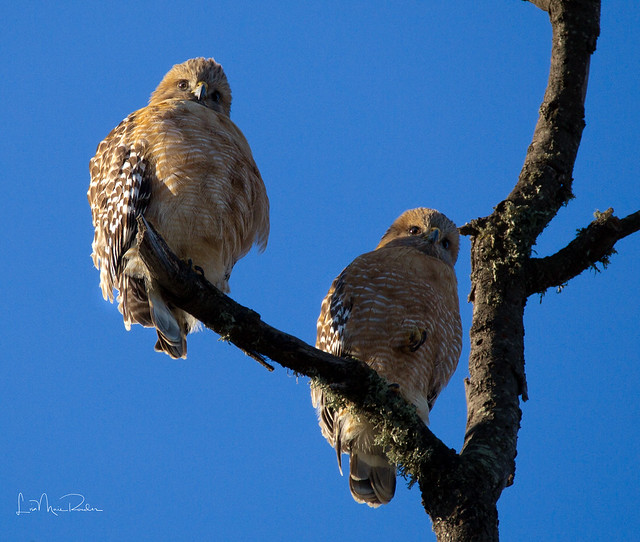 Pair of red-shouldered hawks - juvenile?