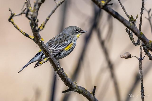 Yellow-rumped Warbler (Audubon's Warbler)