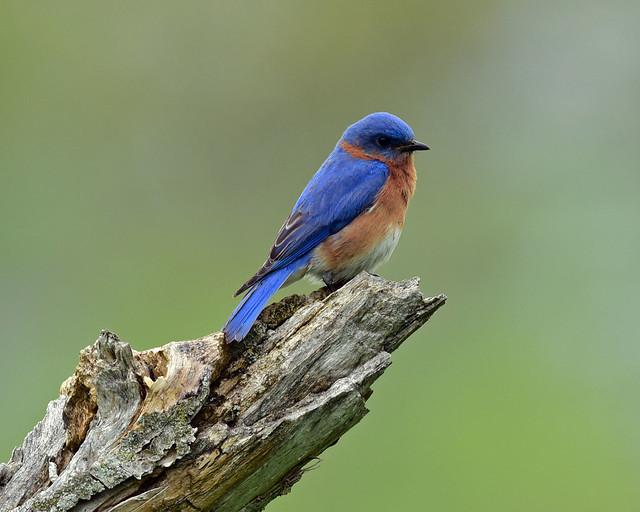 DSC_8905-518Bluebird
