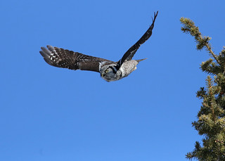 Northern Hawk Owl...#18 (incoming)