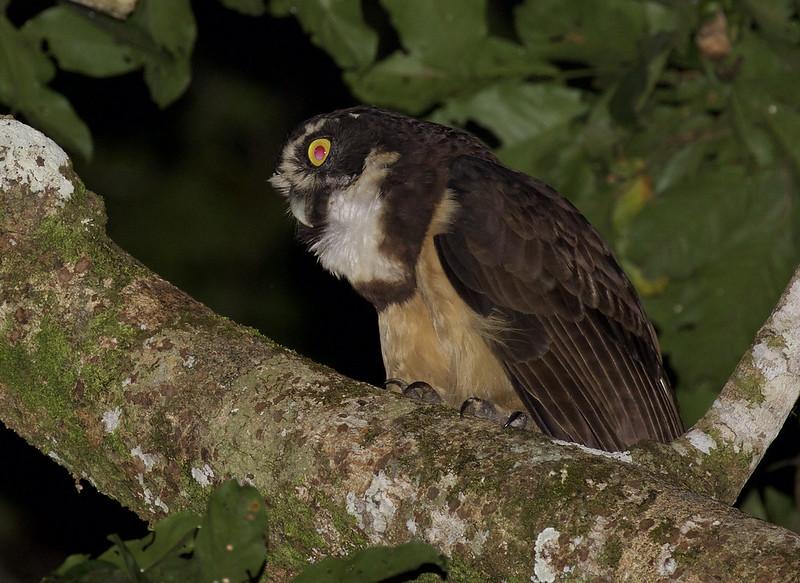 Spectacled Owl, Pulsatrix perspicillata Ascanio_Peruvian Amazon 199A6729