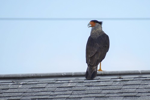 caracara bird raptor roof wire shingles sky feathres beak eye florida ncmountainman nikon d3400 phixe lowresolutionversion dof