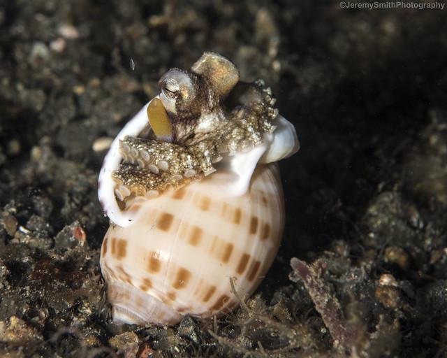 Coconut Octopus, Amphioctopus marginatus, Lembeh, Indonesia