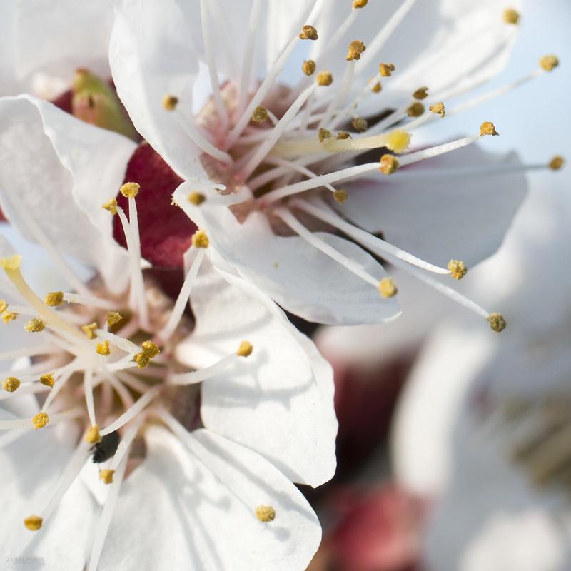 Marillenblüte Wachau 2019