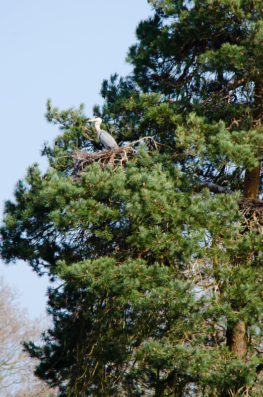 Herons at the nest, Pendeford Mill