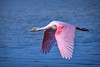 "Roseate spoonbill in flight over water at J.N. ""Ding"" Darling National Wildlife Refuge, Sanibel Island, Florida by diana_robinson"