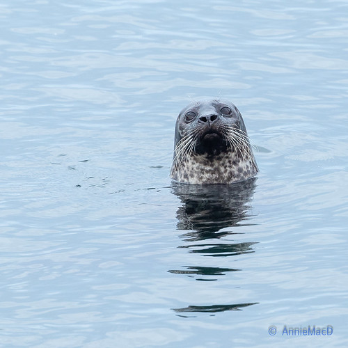 Grey Atlantic Seal | by AnnieMacD