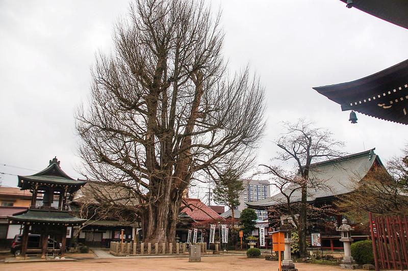 飛驒國分寺內樹齡約1,250年的銀杏樹 1