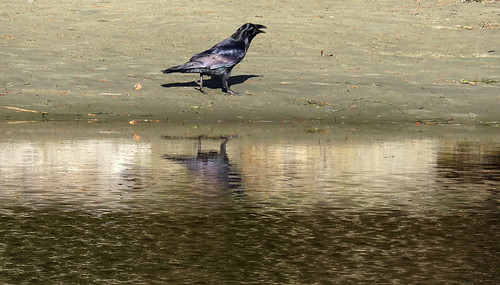Raven strutting on a beach at the end of Tonquin Trail in Tofino on Vancouver Island