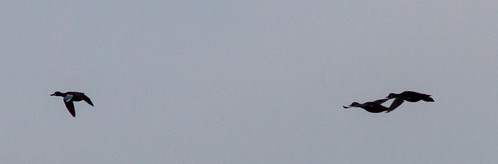 Blue-winged Teal   by brewsterslinnet