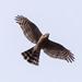 ハイタカ(Sparrowhawk)
