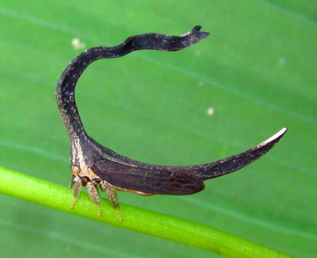 Sphongophorus (Cladonota) ballista (Membracidae) treehopper