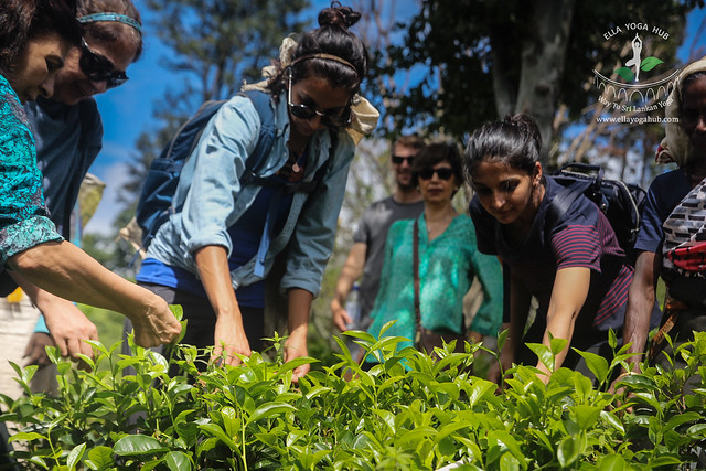Tea Plucking Experience