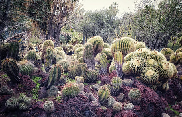 In the cactus garden at the Huntington Library