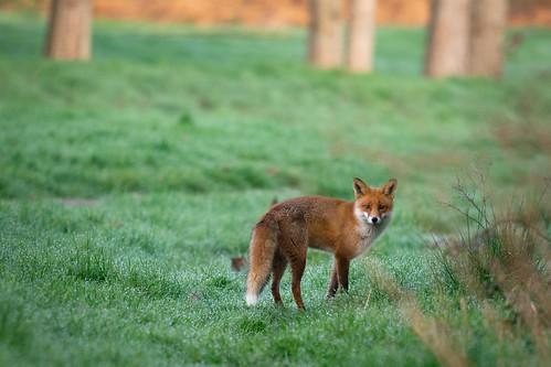Early morning foxy