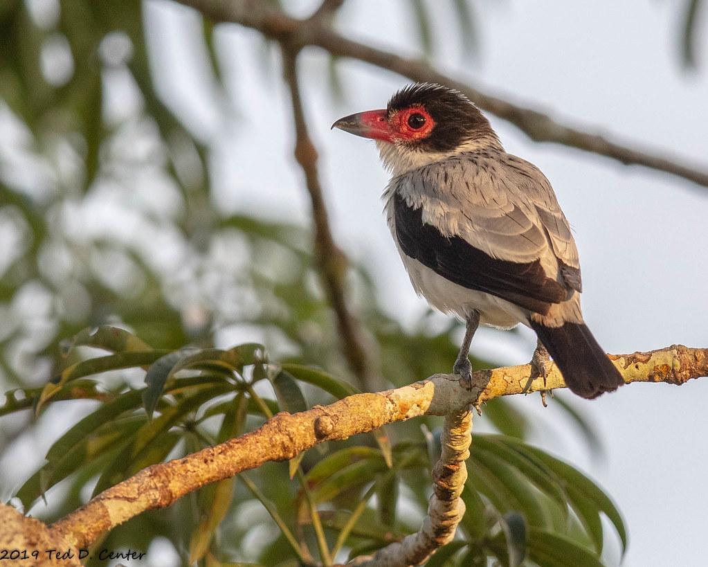 TITYRA, Black-tailed