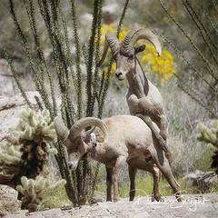 Playful Male Bighorn Sheep