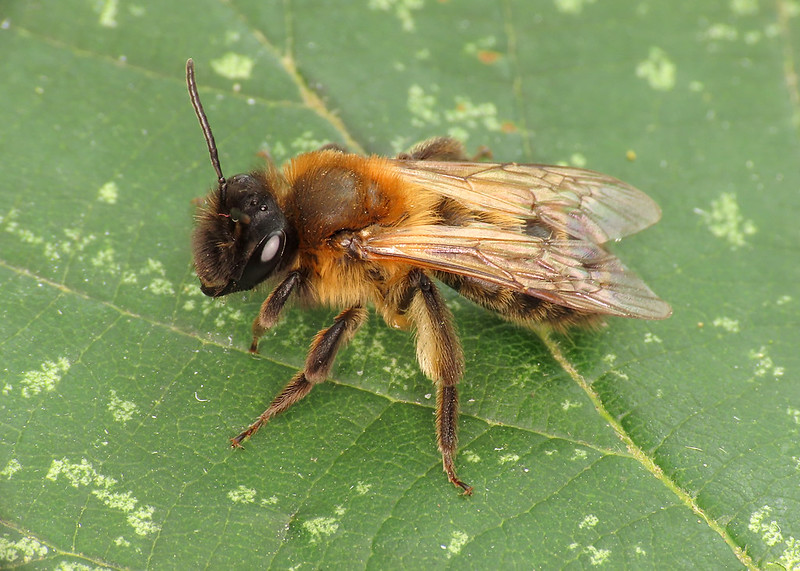 Chocolate Mining Bee - Andrena scotica