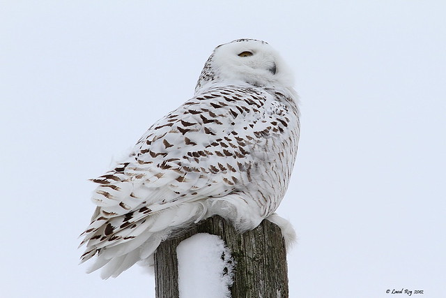 1.05998 Harfang des neiges (immature) / Bubo scandiacus / Snowy Owl