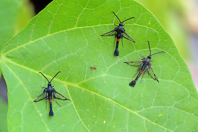 Red-belted Clearwing, Shipham, Somerset, England